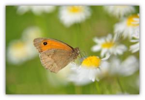 Das Kleine Wiesenvögelchen, ein typischer Bewohner blütenreicher Wiesen und Randstreifen.